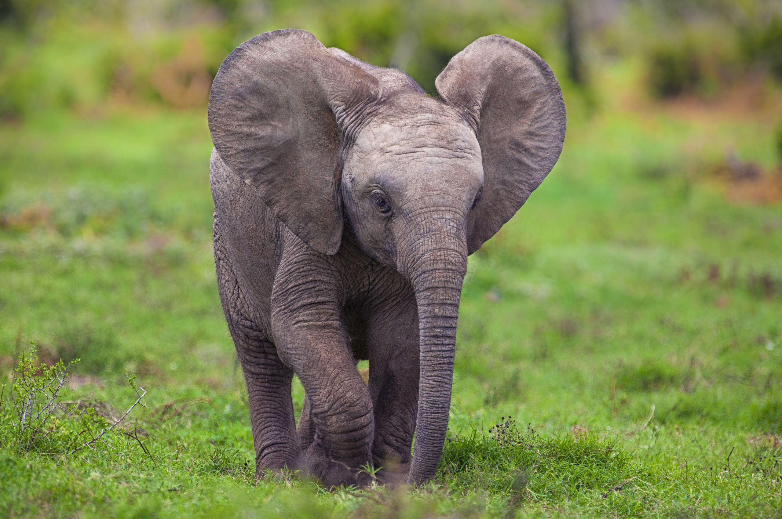 Wallpapers Elephant Maximumwall