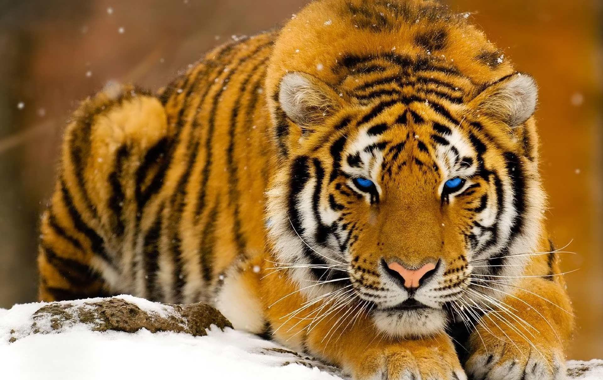 Fonds d'écran Tigre - MaximumWall