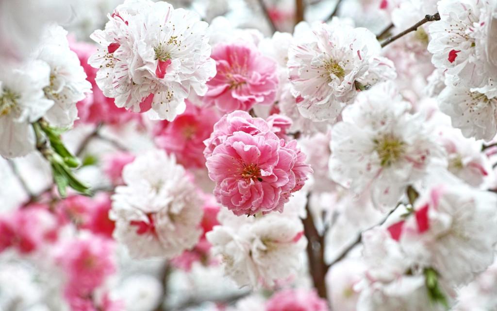 Fonds d'écran Fleurs Blanches - MaximumWall