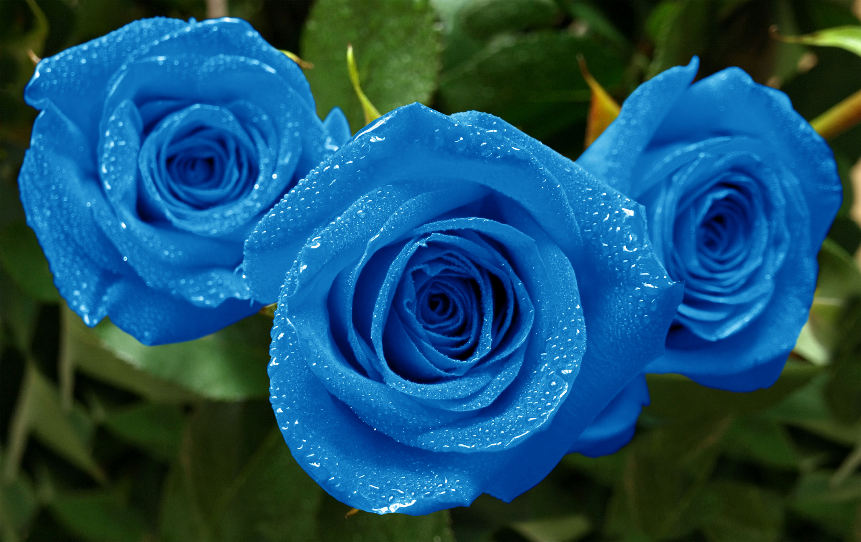 Fonds d 39 cran fleurs bleues maximumwall for Fond ecran qui bouge gratuit