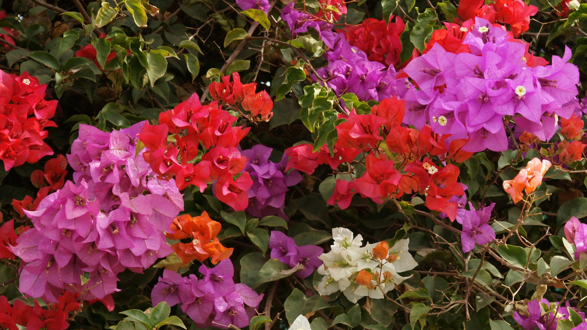 fond d'ecran gratuit geranium