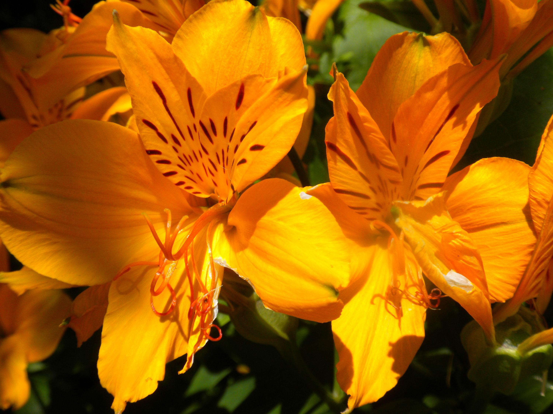 fonds d 39 cran fleurs oranges maximumwall. Black Bedroom Furniture Sets. Home Design Ideas