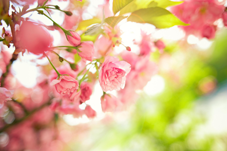 Photo HD Fleurs Roses