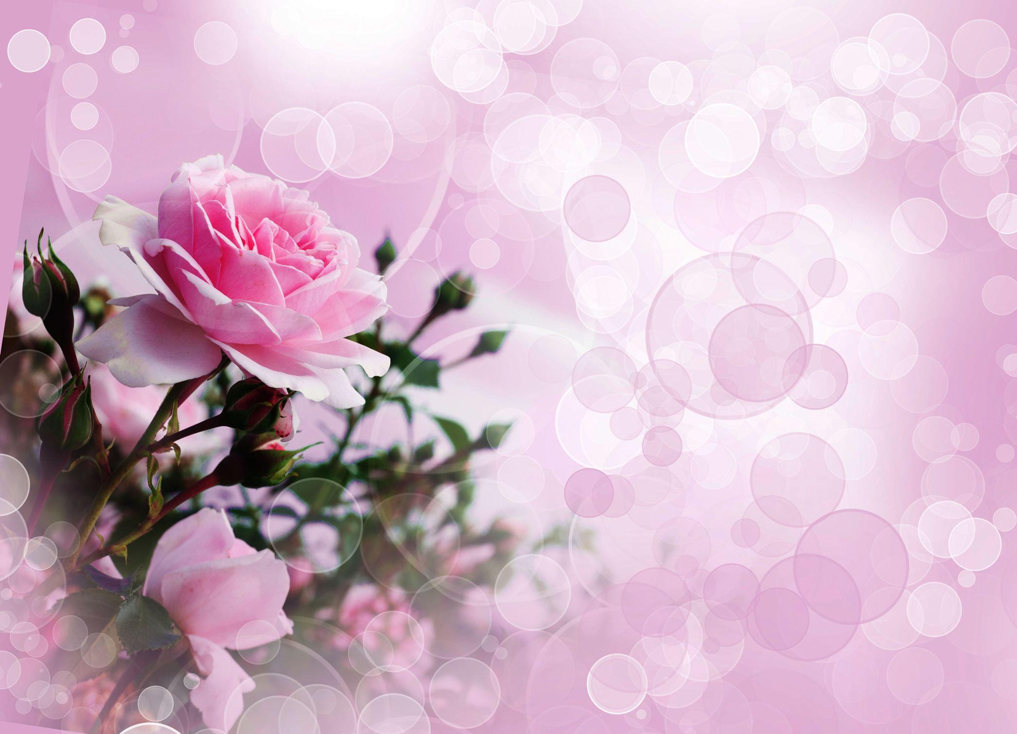 fond d'ecran gratuit roses