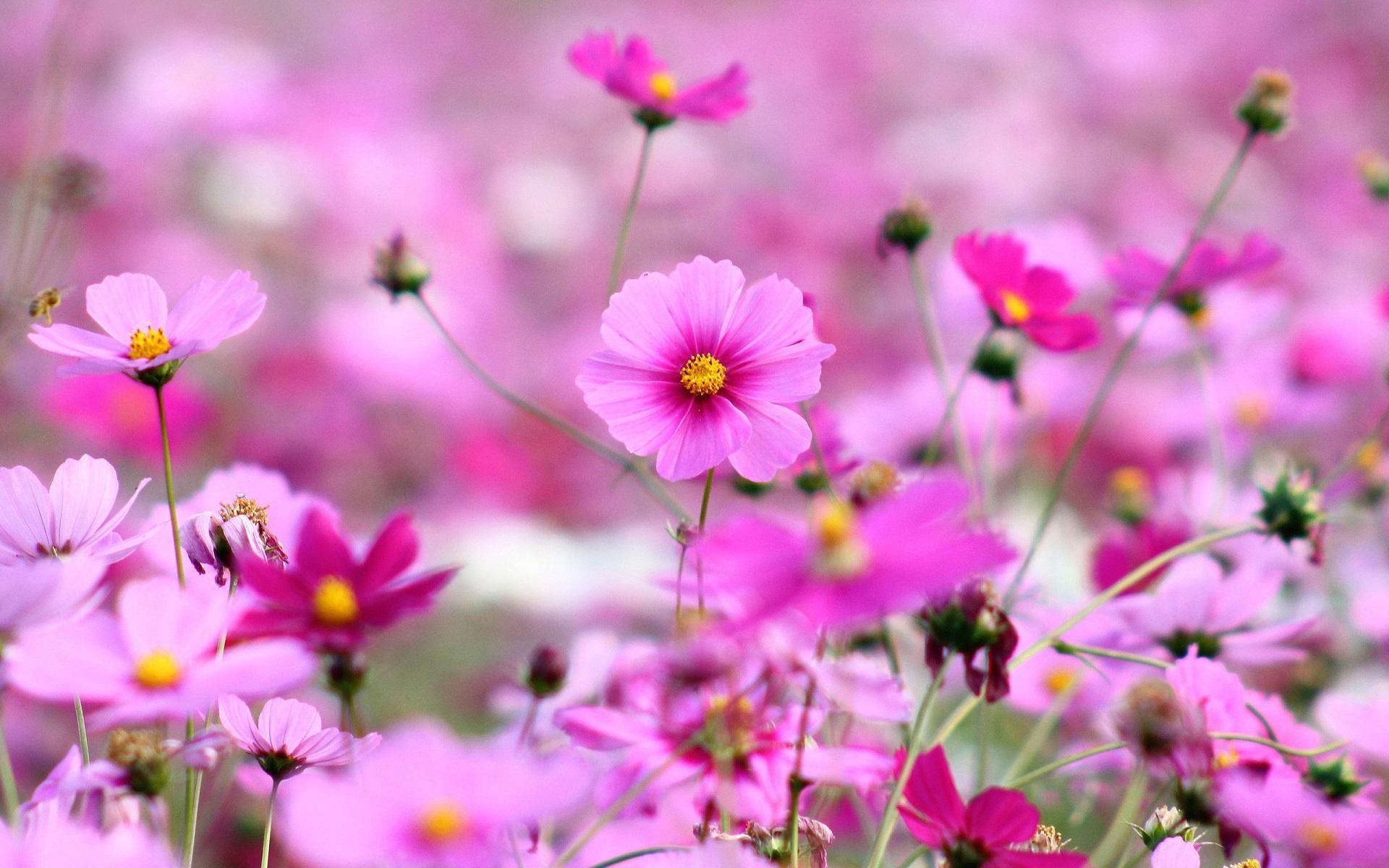 fonds d'écran hd gratuits,fleur,plante à fleurs,pétale,l'eau,rose