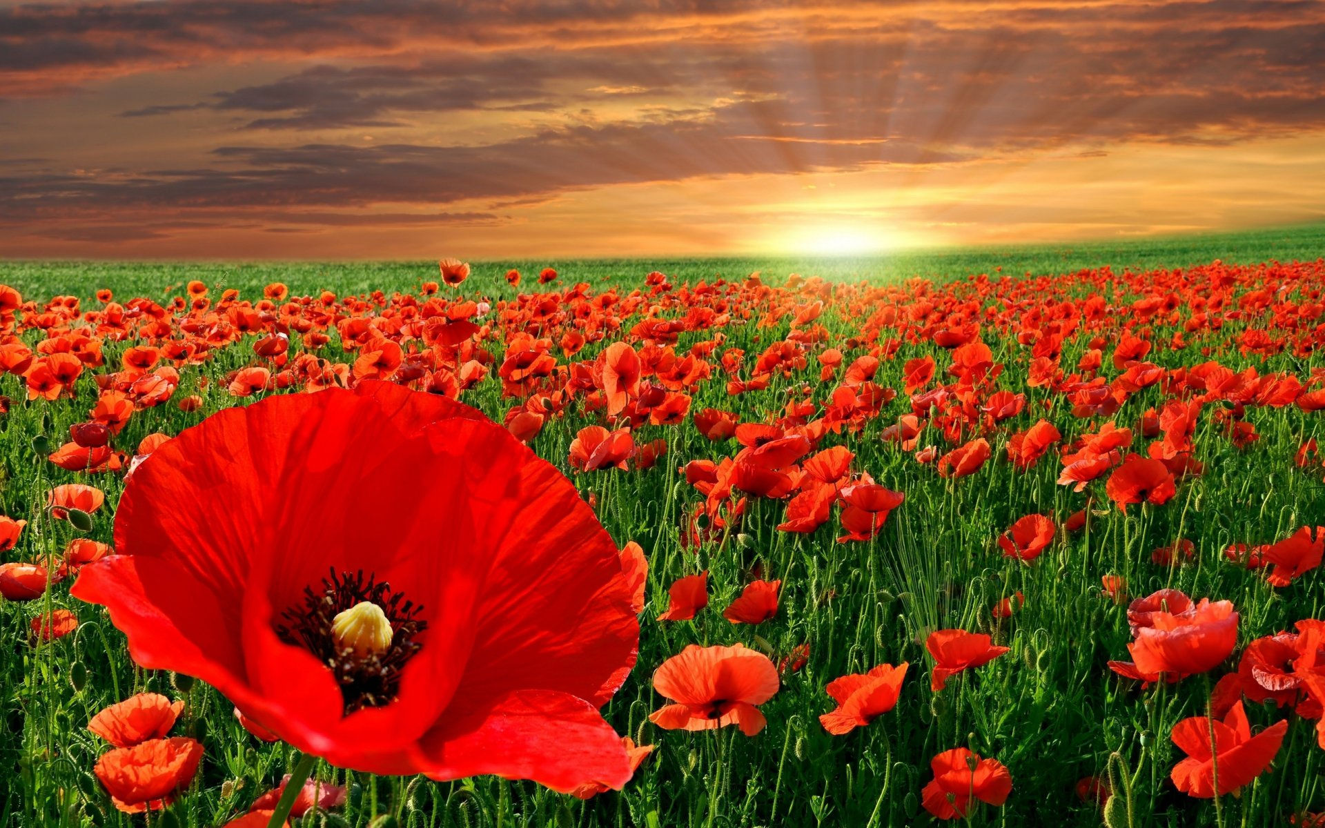 Fonds D Ecran Fleurs Rouges Maximumwall