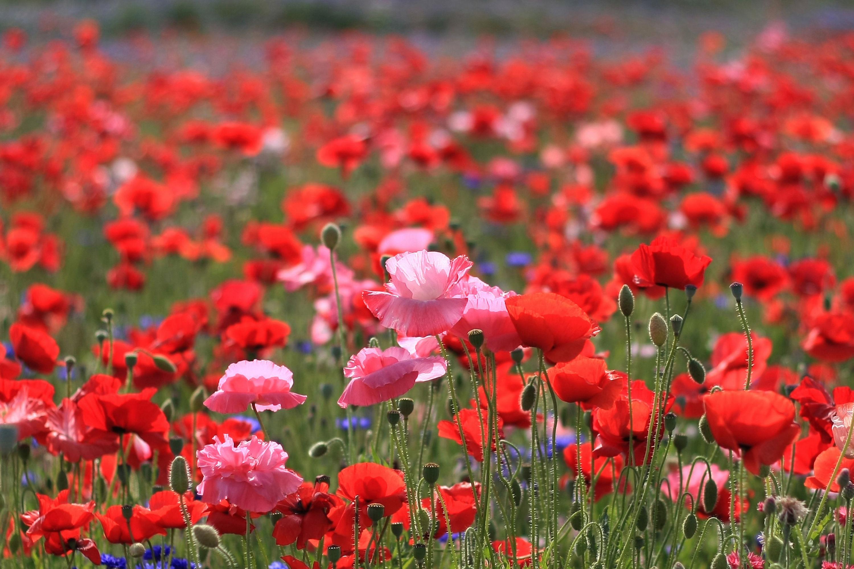 Fond Decran Gratuit Fleurs Des Champs Larmoric Com