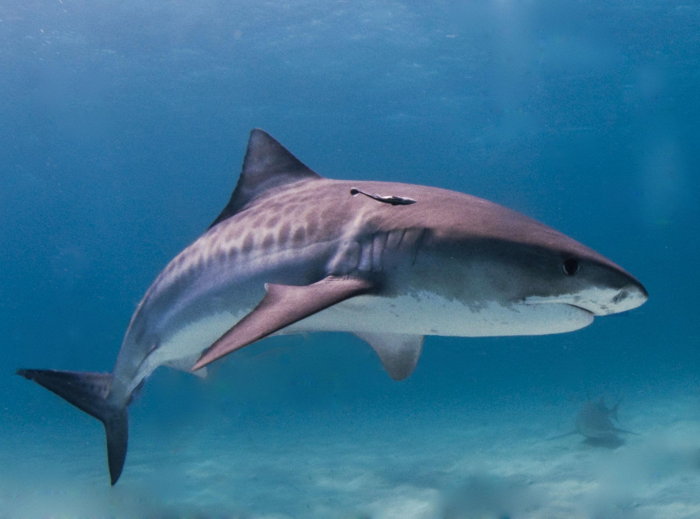 Fonds D écran Requin Maximumwall
