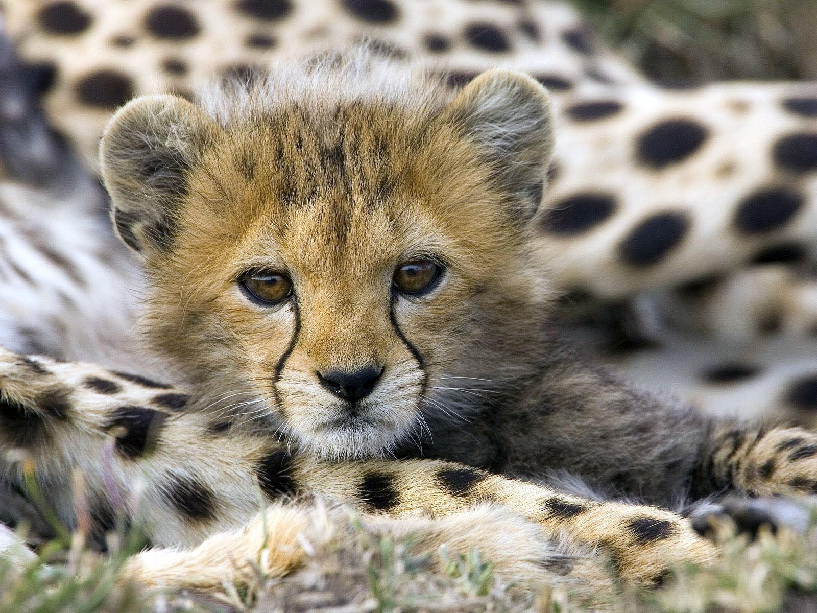 Fonds d 39 cran animaux sauvages afrique maximumwall for Fond ecran gratuit animaux